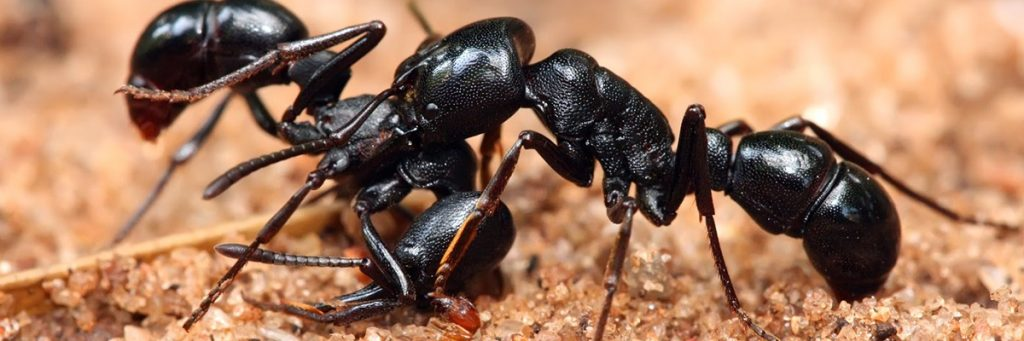 israeli-ant