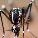 יתוש הנמר האסייתי