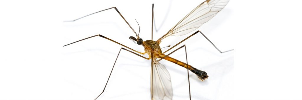 יתוש העש